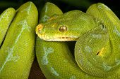 stock photo of green tree python  - Closeup of a  Green Tree Python against a black background - JPG