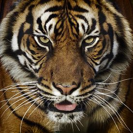 pic of tiger eye  - A dangerous tiger close - JPG