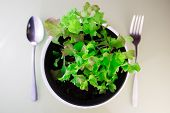 stock photo of butter-lettuce  - Butter lettuce salad in soil with fork and spoon - JPG