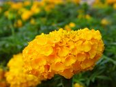 stock photo of marigold  - Yellow Marigold flower with green leaves in garden - JPG