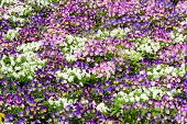 picture of viola  - Viola flowers in mixed colores filling up the whole picture - JPG