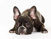 foto of bulldog  - Purebred French Bulldog isolated on white background in studio - JPG