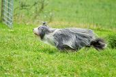 picture of herding dog  - Bearded border collie dog running in a grass field - JPG