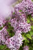 image of lilac bush  - Lilac flowers in bloom during a summer day - JPG