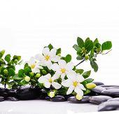 pic of gardenia  - Lying down gardenia with green plant on black pebbles  - JPG