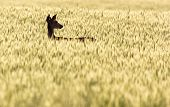 picture of bucks  - A young white-tailed buck standing in a field.