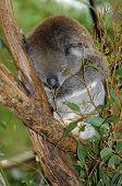 stock photo of eucalyptus trees  - Young Australian Koala sleeping in the branches of a Eucalyptus gum tree - JPG