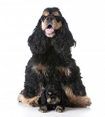 stock photo of puppies mother dog  - american cocker spaniel mother sitting with her puppy laying in front on white background - JPG