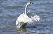 picture of spread wings  - Mute swan spreading its wings on a summers day - JPG