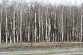 pic of birching  - Birch grove near the asphalt road in Russia - JPG