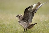 pic of spread wings  - Arctic Skua with wings spread standing on grass - JPG