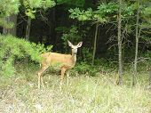 stock photo of safe haven  - a deer looks out from a safe haven of trees - JPG