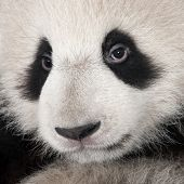 pic of baby animal  - Giant Panda  - JPG