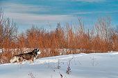 Landscape: Walk With Dog. Siberian Husky On Winter Walk. Husky Dog Run In Snow. poster