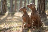 Two Beautiful Hunting Dogs Breed Weimaraner For A Walk In The Forest Portrait poster