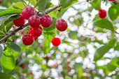 Ripe, Red Cherries Hanging From A Cherry Tree Branch.  Selective Focus On The Cherries To Allow For  poster