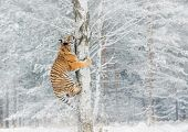 Tiger Climbs The Tree Behind The Prey. Hunt The Prey On The Tree In Cold Winter. Tiger In Wild Natur poster