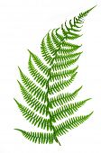 picture of fern  - Fern isolated on white background - JPG