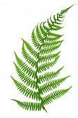 foto of fern  - Fern isolated on white background - JPG