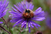 foto of honey-bee  - honey bill pollinating a blue or lavender daisy  - JPG