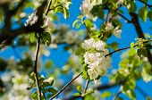 Spring Flowers Of Apple Tree Blooming In The Spring Garden. Natural Spring Flower Landscape, Spring  poster