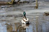 Mallard (drake) Floating In A Thawing Puddle In Early Spring. poster