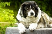 Adult Caucasian Shepherd Dog. Fluffy Caucasian Shepherd Dog Is Lying On The Ground. Adult Caucasian  poster