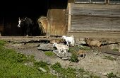 picture of pygmy goat  - wildlife in zoo goat and buffalo - JPG