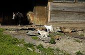 stock photo of pygmy goat  - wildlife in zoo goat and buffalo - JPG