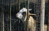foto of pygmy goat  - Wild goat in zoo of Kaliningrad Russia - JPG