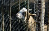 image of pygmy goat  - Wild goat in zoo of Kaliningrad Russia - JPG