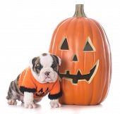 female English bulldog puppy wearing halloween sweater sitting beside a pumpkin isolated on white ba poster