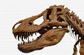 Portrait Of A Tyrannosaurus Rexs Skull Isolated On White Background. poster