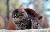 A Black Tabby Three Months Old Norwegian Forest Cat Outdoors With A Big Brown Clay Pot poster