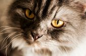 Close up view of Gray tabby cute kitten. Pets and lifestyle concept. poster