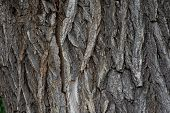 Bark Of Tree Texture. Wood Bark Texture. Part Of A Tree In Daylight. The Invoice For Designers. Tree poster