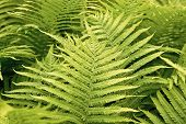 Go Green And Natural. Green Fern Tree Growing In Summer. Fern With Green Leaves On Natural Backgroun poster