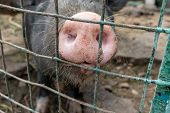 Dirty Pig Snout Nose Behind The Bars Of A Pigsty Close Up poster