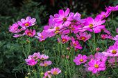 Summer Flower Landscape Scene With Pink Cosmos Flowers - In Latin Cosmos Bipinnatus - At The Summer  poster