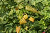 Diseased Leaves In Spots Of Rotten Blackcurrant. Protection Against Diseases And Pests In  Garden poster