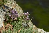 Small Beautiful Flowers Grow On A Rock. Flowers Over A Cliff. Cliffs And Sea poster