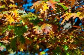 Autumn Background Bright Yellow Leaves Close-up. Bright Yellow-red Oak Leaves Against Blue Sky. Brig poster