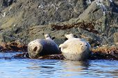 Seals (spotted Seal, Largha Seal, Phoca Largha) Laying On Coastal Rocks. Wild Spotted Seal Sanctuary poster