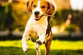 Dog Beagle With A Stick On A Green Gras During Autumn Runs Towards Camera In Garden. poster