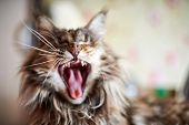 Maine Coon Cat, Close Up. Funny, Cute Cat With Marble Fur Color. Largest Domesticated Breeds Of Feli poster