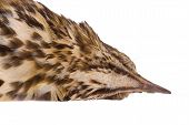 picture of brown thrush  - Dead song thrush on a white background - JPG