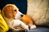 Beagle Dog Tired Lzing Down On A Cozy Couch. Adorable Canine Background poster