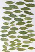 Aromatic Bay Leaves Isolated On White Background. The Bay Leaf Is An Aromatic Leaf Commonly Used In  poster