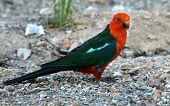 stock photo of king parrot  - Male Australian King - JPG