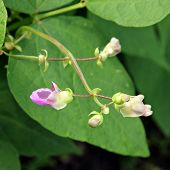 image of phaseolus  - Pink flowers of beans  - JPG